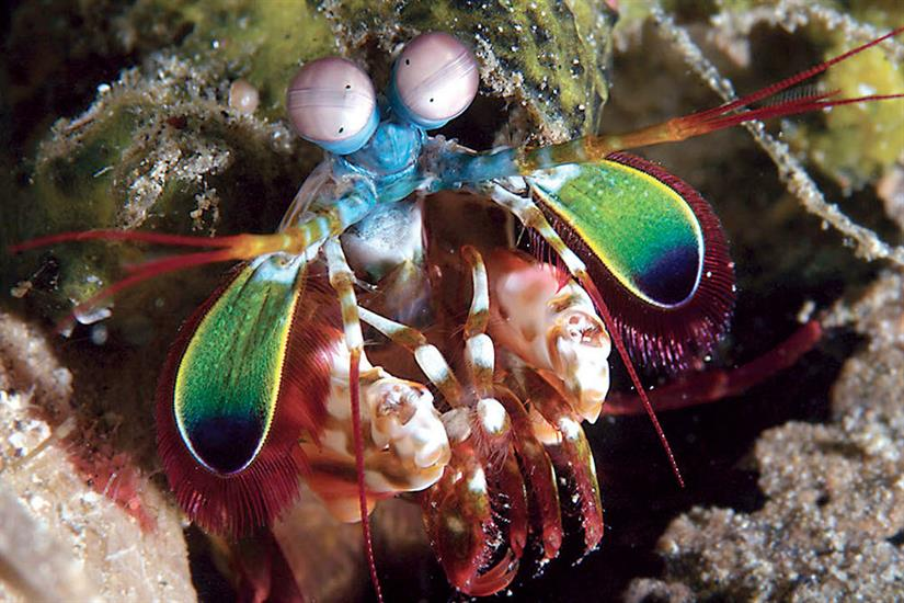 Peacock Mantis Shrimp - Wakatobi Indonesia