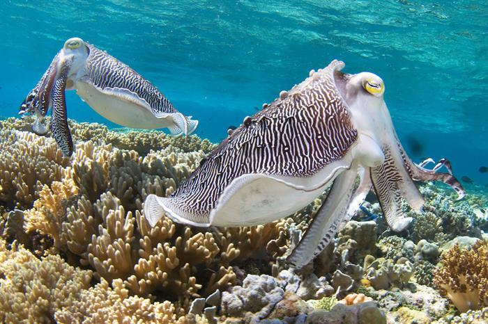 Sepiidae Cuttlefish - Wakatobi Sulawesi