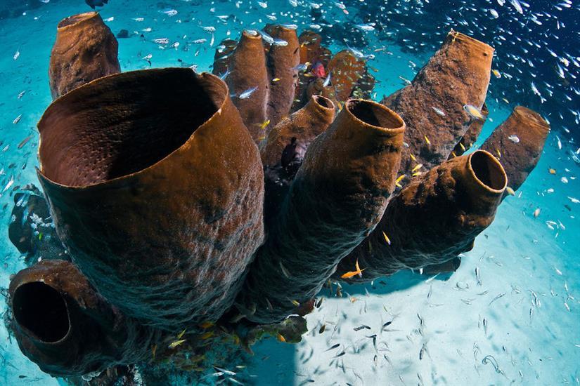 Vase sponges are prolific in Wakatobi, Sulawesi