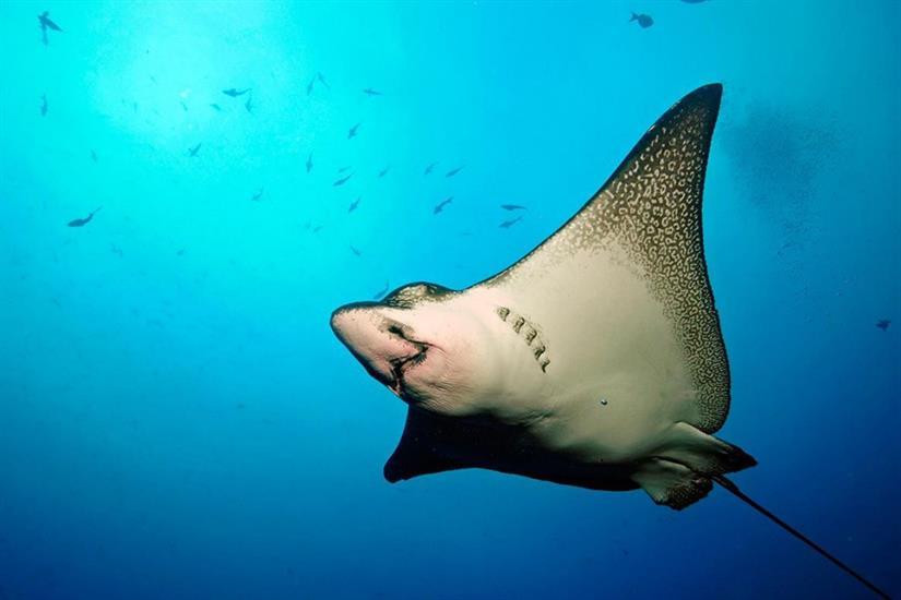 Eagle Ray - diving the Galapagos