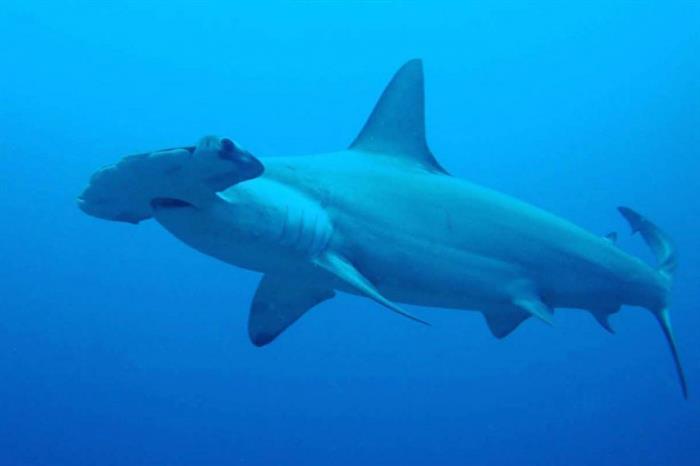 Hammerhead Sharks of the Galapagos