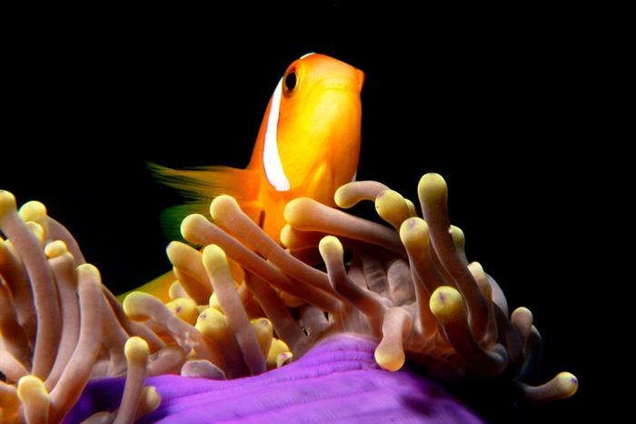 Clown Fish - Diving Maldives