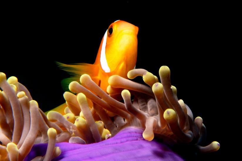 Clown Fish - Diving Maldives