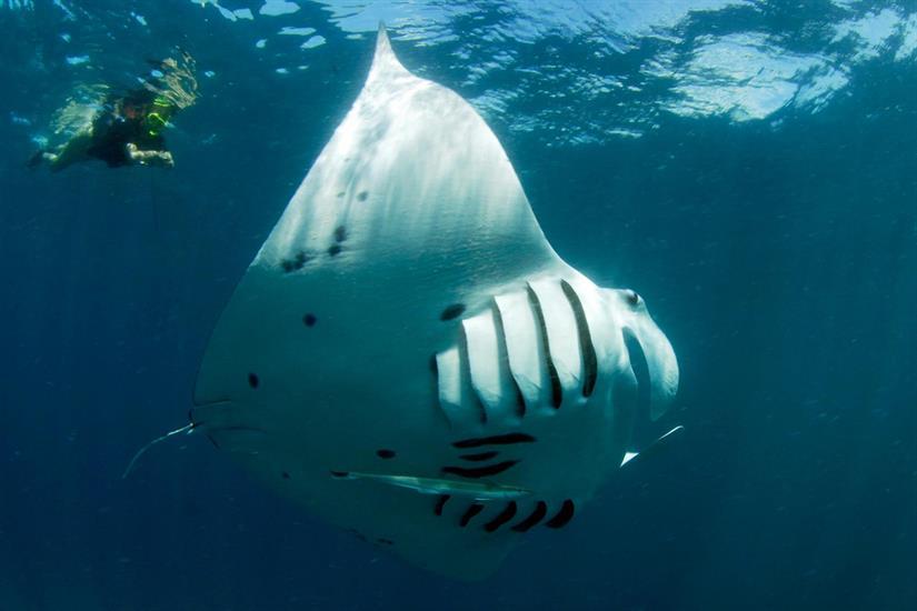 Swim with Manta Rays in the Maldives