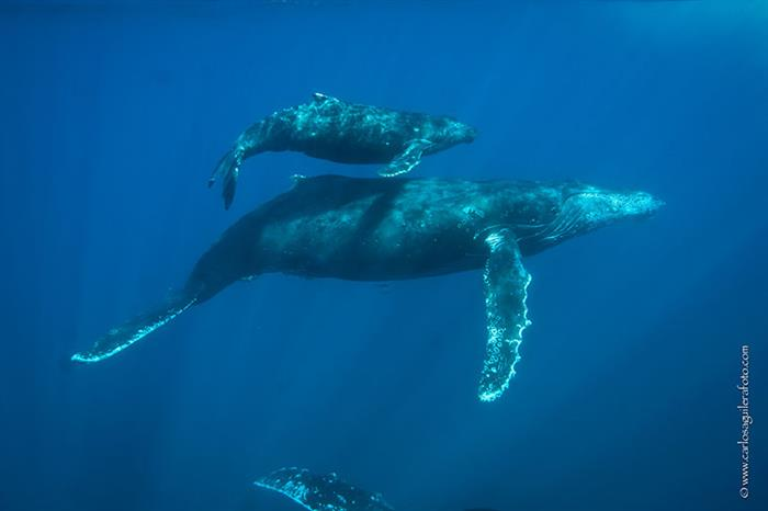 Humpback whales in the Socorro Islands