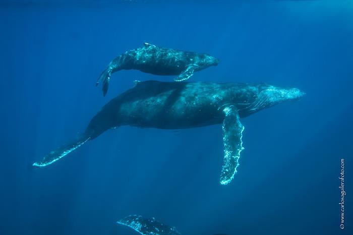 Humpback whales in the SocorroIslands