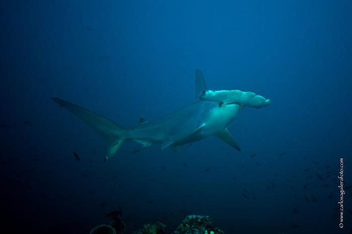 Hammerhead sharks - Socorros
