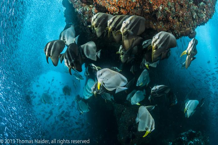Schooling Batfish Raja ampat