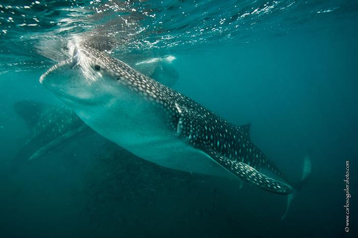 Whale sharks in the Socorro Islands