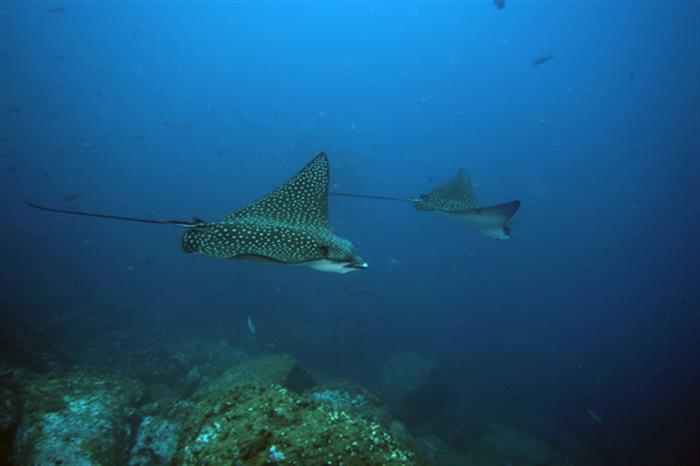 Eagle Rays - Nortada Liveaboard Galapagos Diving