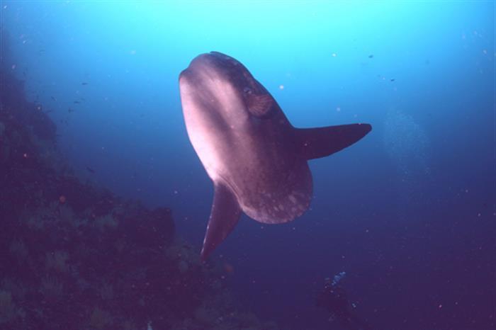 Mola Mola - Galapagos Diving
