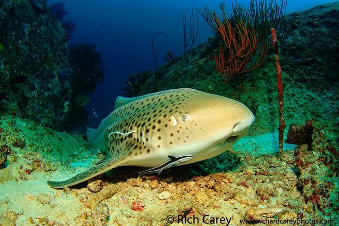 Lwopard Shark - Koh Tachai Diving