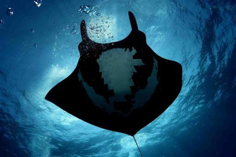 Dive with giant mantas in the Socorros