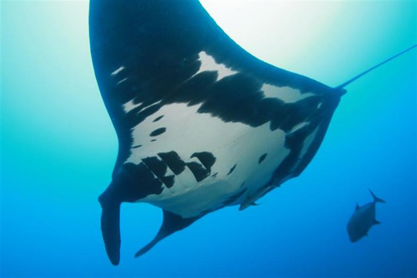 Giant Manta Rays in the Socorro Islands
