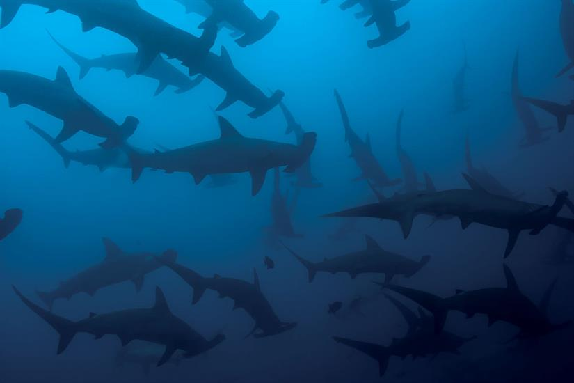 Schooling Hammerhead Sharks - Socorro Islands