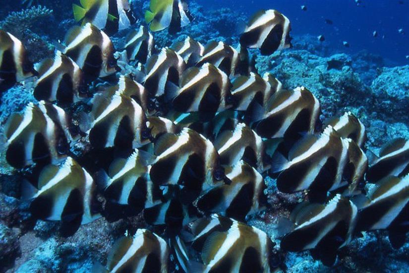 Schooling Butterfly Fish - Maldives