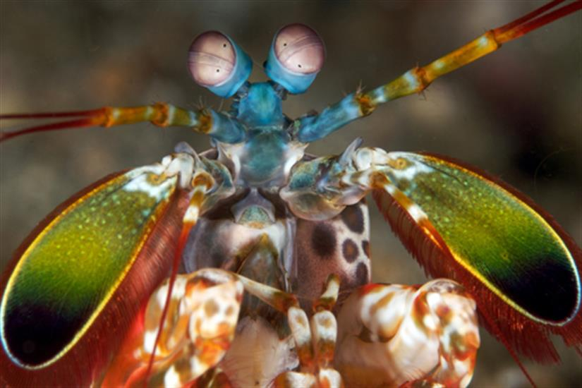 Peacock Mantis Shrimp - Koh Tachai Thailand