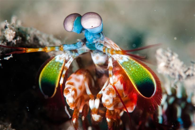 Peacock Mantis Shrimp at Koh Tachai Thailand