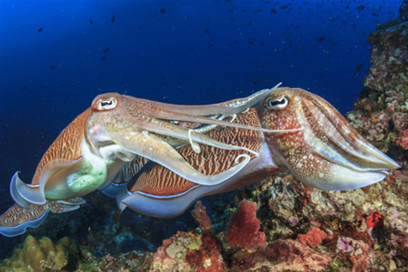 Cuttlefish at Koh Bon Thailand