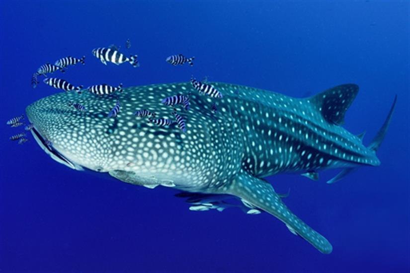 Dive with Whalesharks at Richelieu Rock Thailand