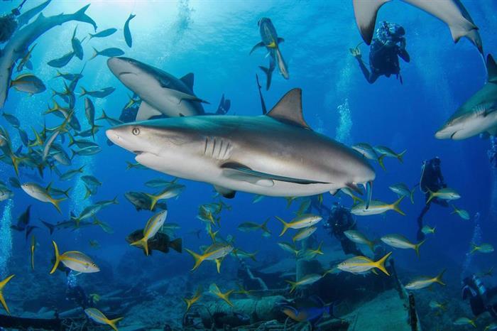 Caribbean Reef Sharks at the Austin Smith Wreck Bahamas