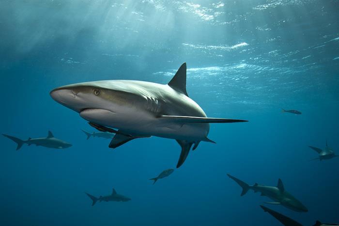 Caribbean Reef Shark Bahamas