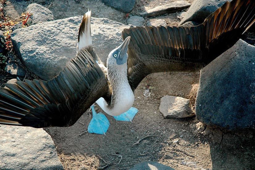Blue Footed Boobie Galapagos