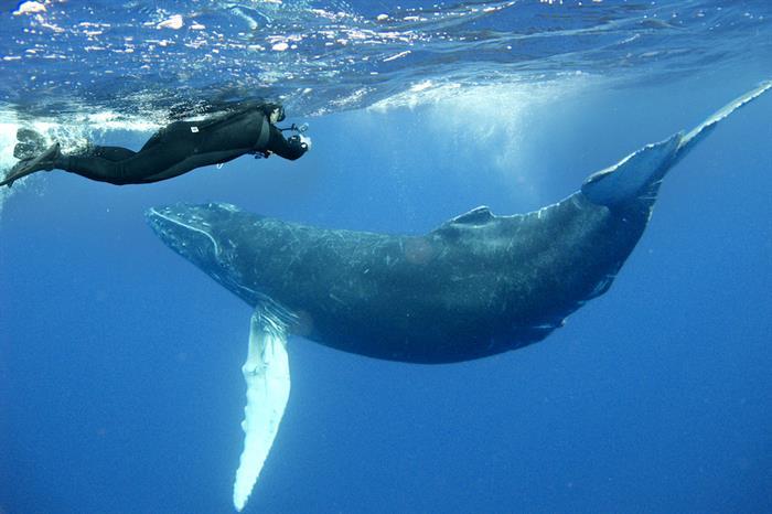 Humpback Whales Socorro Mexico