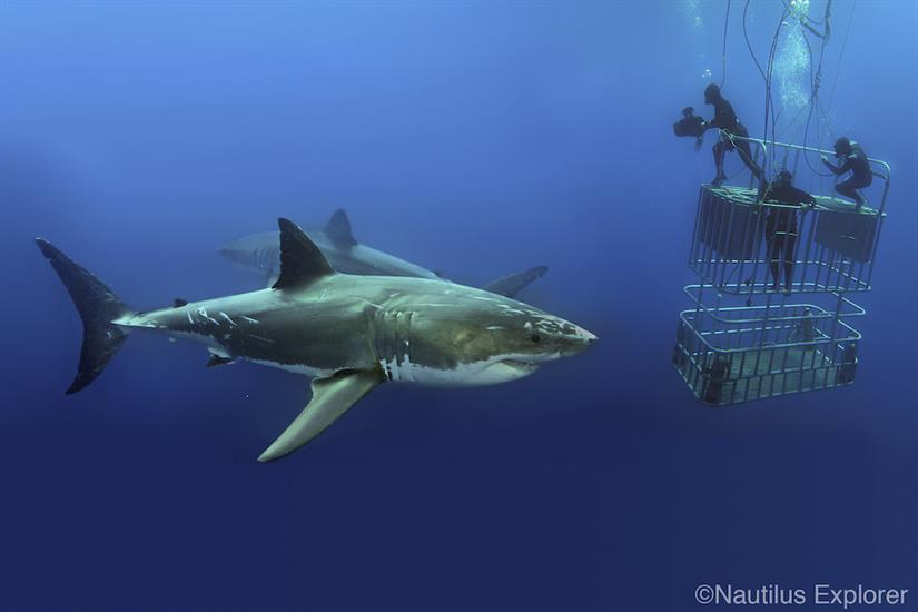 Great White Sharks Mexico