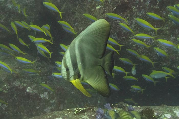 Batfish Thailand