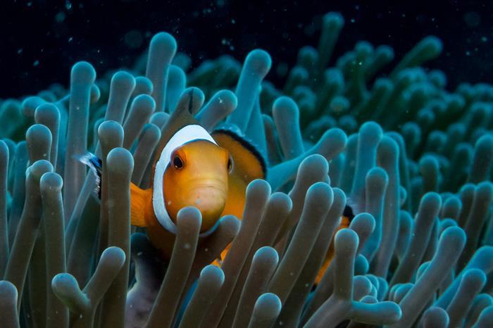 Clownfish Thailand