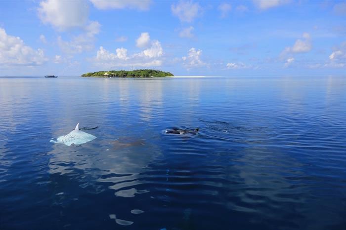 Manta Rays at the surface - Azalea Maldives