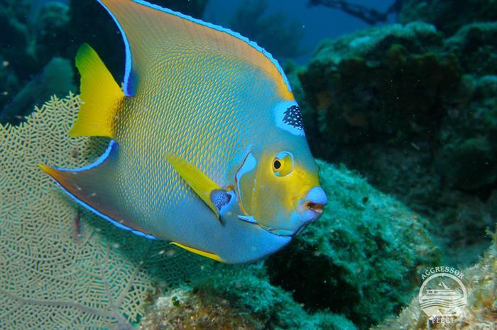 Angelfish - Honduras