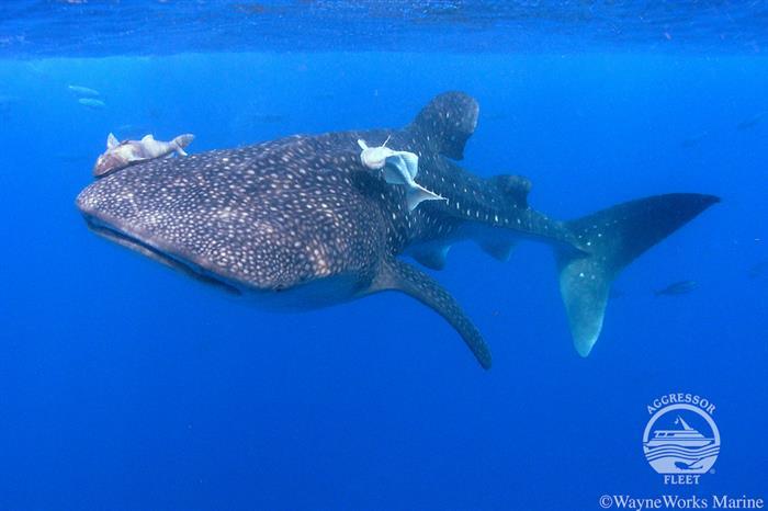 Whalesharks in Utila