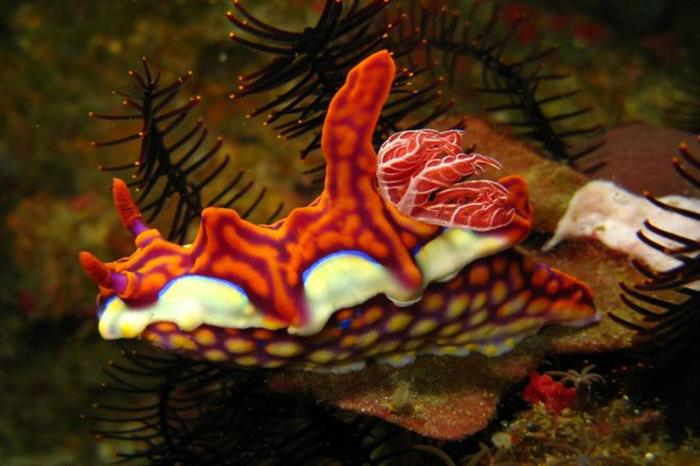 Nudibranchs of Raja Ampat