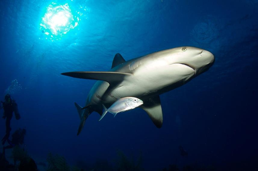Shark - Belize Aggressor III