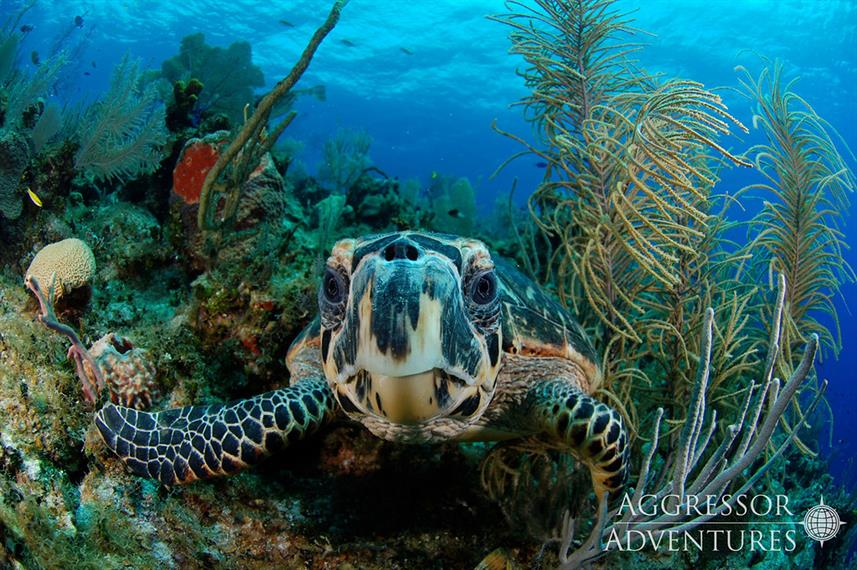Turtle - Belize Aggressor III