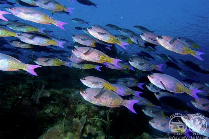 Schooling Wrasse in Belize