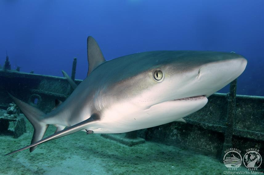 Bahamas Aggressor Shark Diving