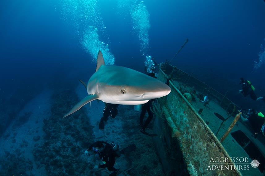 Shark - Bahamas Aggressor