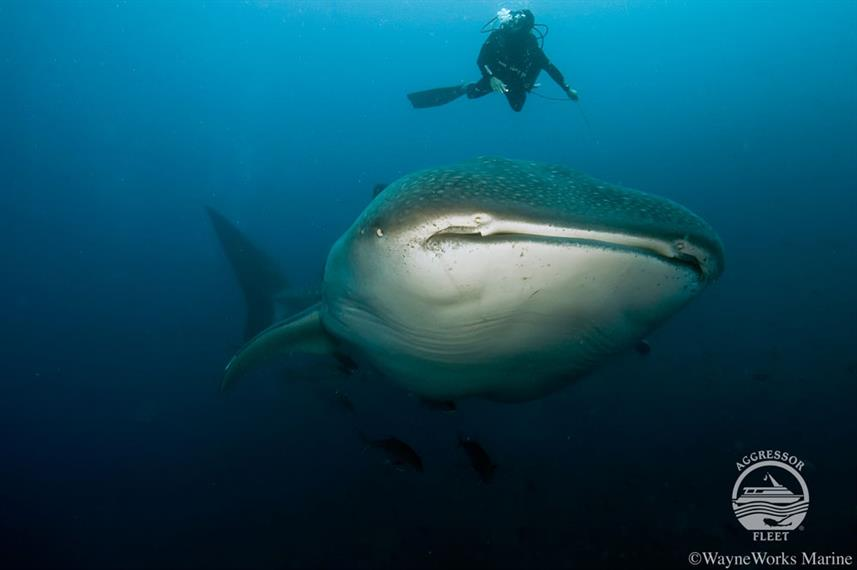 Requin baleine - Galapagos Aggressor III