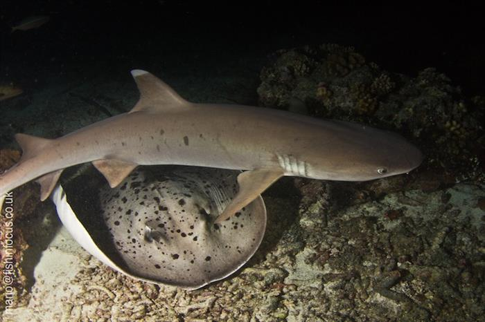 Shark Dives with MV Orion Liveaboard