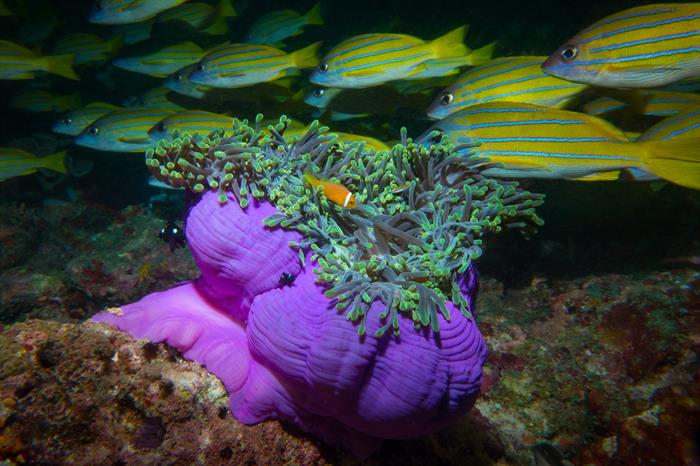 Anemone - Maldives Diving - Leo Liveaboard