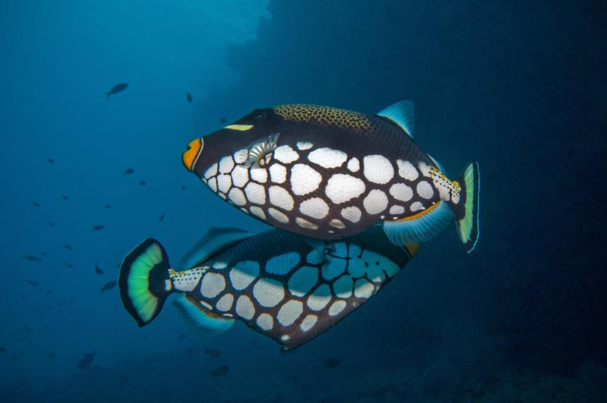 Clown Triggerfish - Diving Maldives with Leo Liveaboard
