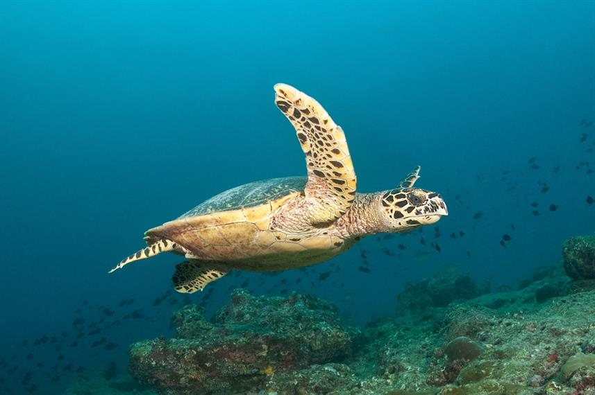 Hawksbill Turtle - Maldives Diving with MV Leo Liveaboard