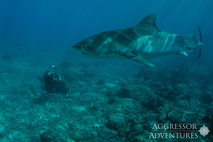 Requin - Okeanos Aggressor