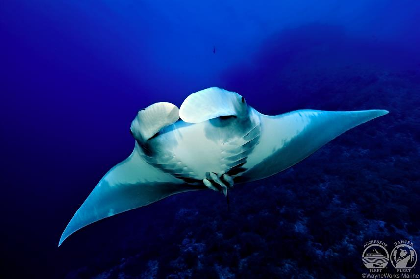 Manta Ray with Red Sea Aggressor Liveaboard