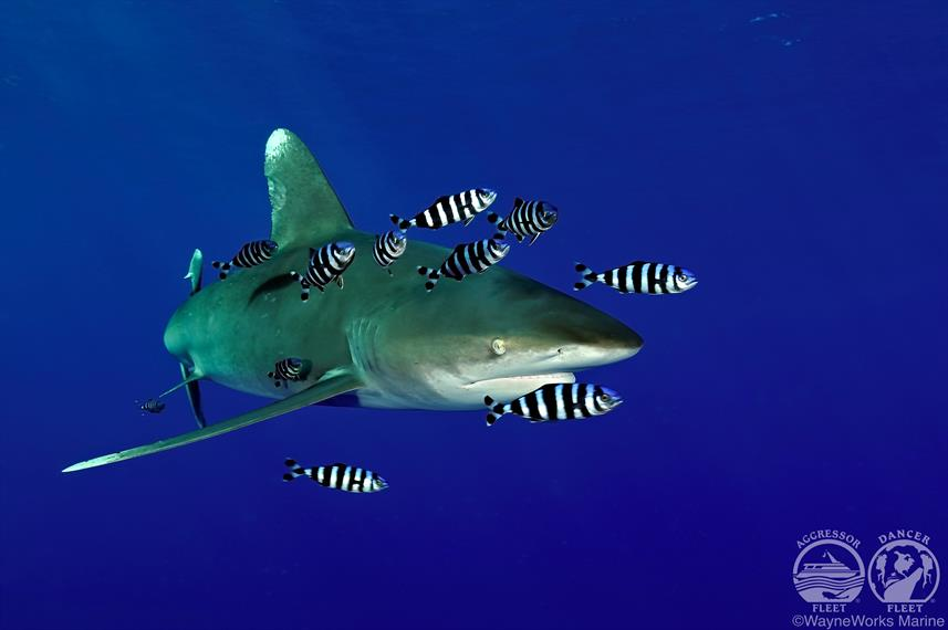 Oceanic Whitetip with Red Sea Aggressor Liveaboard