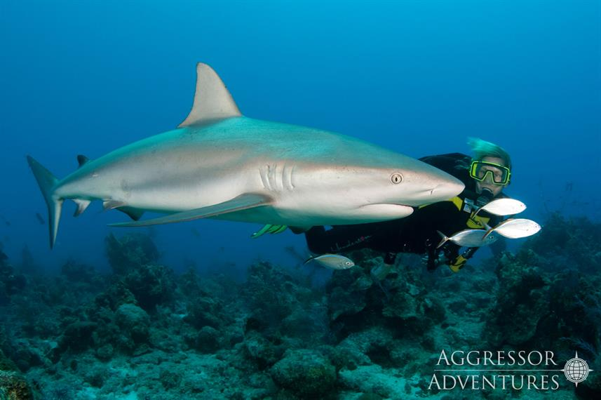 Shark - Turks and Caicos Aggressor II