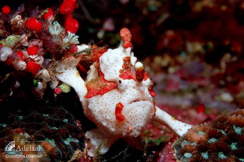 Warty Frogfish - Indonesia